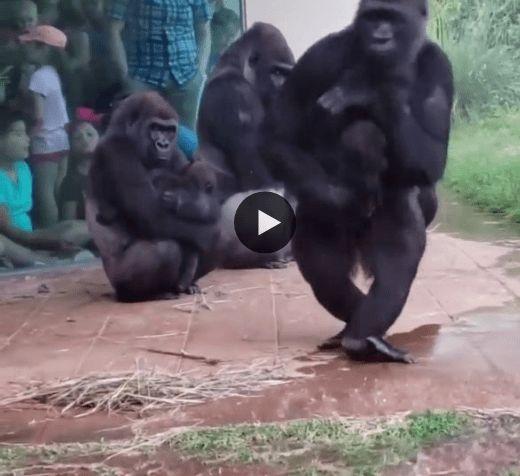 Esses Macacos não gostam da chuva e protege seus Filhotes