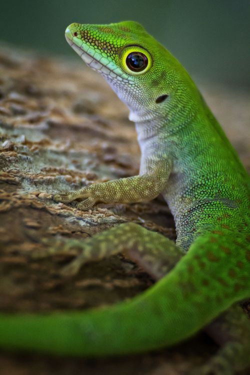 The Day Gecko II by John Dickens on 500px.com