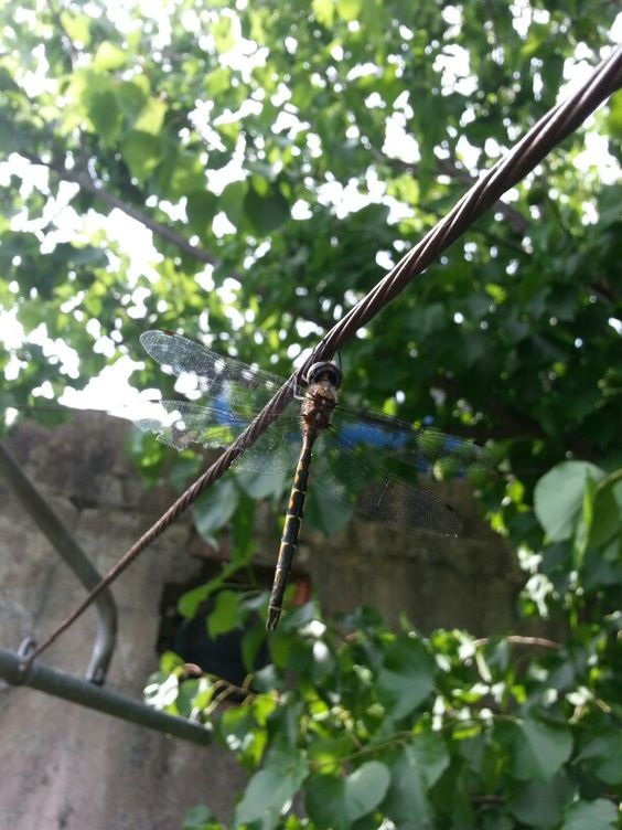 A little hard to see but a beautiful dragonfly was hanging out on our clothesline