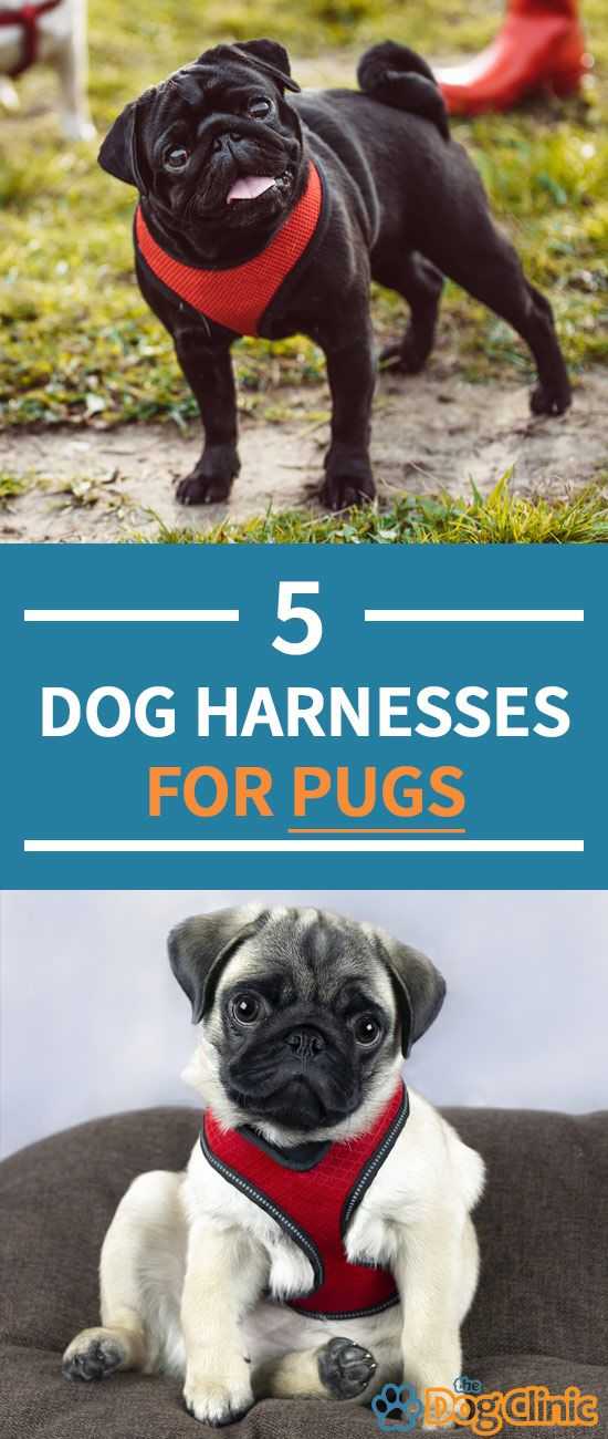 It S Important To By The Best Harness For A Pug As Their Unique
