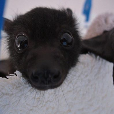 I needed a snout photo to show how baby bats have two bumps on their snout.Those bumps contain their canine teeth.Once they drop the bumps go.