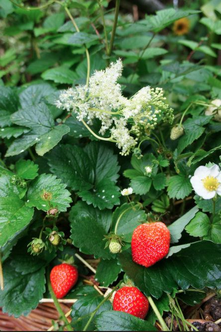 cooking with meadowsweet