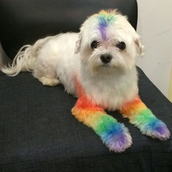 Topher is all ready for  San Gabriel Valley Pride!  Are you? Come by the booth for free giveaways! Discounted items! & coupons!!  #bowhaus #bowhauspets #dogsofbowhaus #employeedog #perksofbeingaemployeedog #pride #pridedog #sgvpride #rainbow #rainbowdog #maltese #instamaltese #maltesesofinstagram #grooming #pasadena #ca #socal #coloradoblvd #dogchalk #lgbtq #queer #lgbt