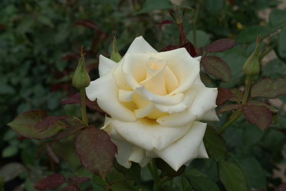 Leana - Ludwigs Roses | Being a sport (spontaneous mutation) of the popular 'Esther Geldenhuys', with the same vigour, superb shape of bloom & long lasting qualities, it is only necessary to describe the colour – white with distinct cream rising from the deep centred blooms. A winner in the garden.