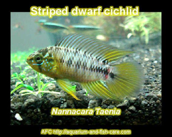 explore cichlid nannacara dwarf cichlid s and more cichlids