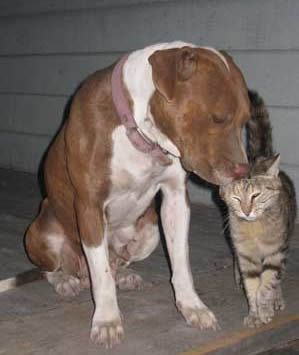 I don't care what people may say, Pitbulls are great dogs. This pic reminds me of my pit & cats