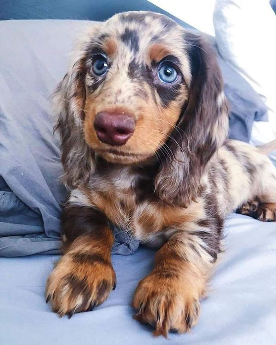 Long Haired Apple Dachshund Apfel Dackel Langhaariger