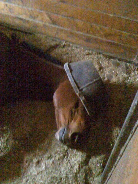 Horse napping with a feed pan hat. Just trying to block the light and get some shut eye!:
