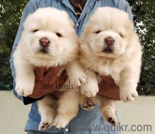 Chow Chow Puppies In Bangalore 10 Year Old Chow Chow Price In