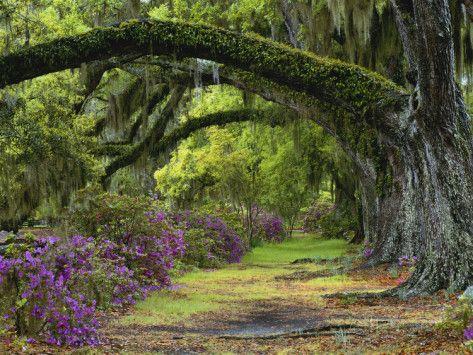 Coast Live Oaks and Azaleas Blossom, Magnolia Plantation, Charleston, South Carolina, USA Photographic Print by Adam Jones at AllPosters.com...
