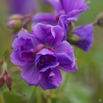 Geranium himalayense Plenum - 1 plant Buy online order yours now