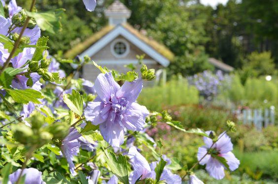Hibiscus syriacus 'Notwoodthree' Blue Chiffon Rose of Sharon at Coastal Maine Botanical Gardens.