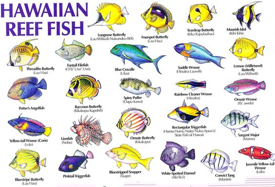Colorful fish blog and hawaii on pinterest for Hawaiian fish names and pictures