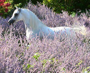 fotos de caballos arabes   CABALLOS ÁRABES ESPAÑOLES