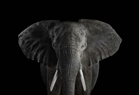 Portraits of Exotic Animals  Photographer Brad Wilson caught the deep look of exotic animals. They look in the direction of the lens, making us looking them in the eyes. We discover animals with sweet, wild, observant, interrogative expressions in which we like plunging.exoticanimals5