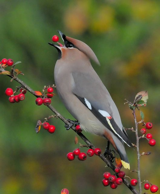 Pestvogel / Bohemian Waxwing by Rob Teunen aka Borelius, via Flickr>>need to go visit my sister in AK in winter so I can see one of these!