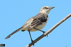 Mimus polyglottos (Zygonyx) Tags: bird nature birds animal animals fz20 wildlife cuba panasonic oiseau mockingbird vogel oiseaux rossignol vgeln sinsonte ruisenor moqueur spottdrossel