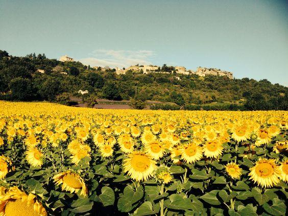 Sunflower field below Saignon