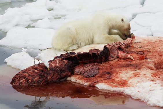 A polar bear travels submerged under water - a tactic often employed to surprise prey. As part of a fragile Arctic ecosystem, the bears are threatened by the recent dramatic reduction in ice cover. Sea ice - frozen seawater that moves with the ocean currents - provides an important habitat and resting place for many animals. The Artic ice cover reached a record low in 2007. Many attribute this situation to global warming.