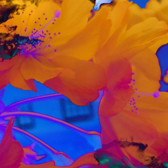 Cherry flowers. Photo taken at Keele University, inverted colors.