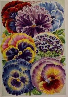 Childs' combination catalogue for 1910 : page...'Tufted Pansies'