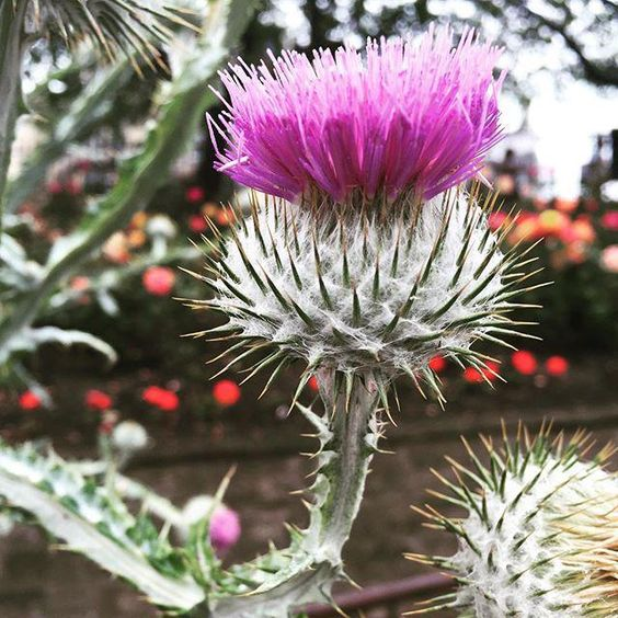 Stunning #Thistles in Princes Street Gardens today #colours #horticulture #flower #Scottish #nature #beautiful
