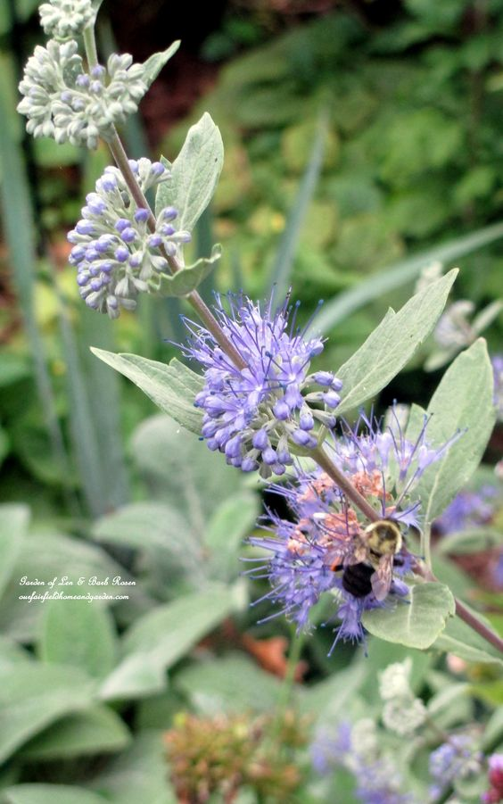 "Caryopteris ""Longwood Blue"" is a bee and butterfly magnet . (Garden of Len & Barb Roen)"