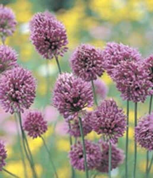 Sphaerocephalon Drumstick Wooden Shoe Tulip Farm Bulb Flowers Allium Dream Garden