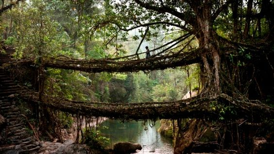 The living tree root bridge in the village of Nongriat, Meghalaya State, Eastern India. Photo: Amos Chapple.