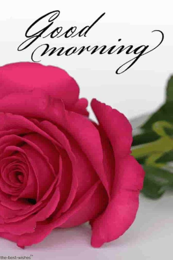 Pink rose good morning images.