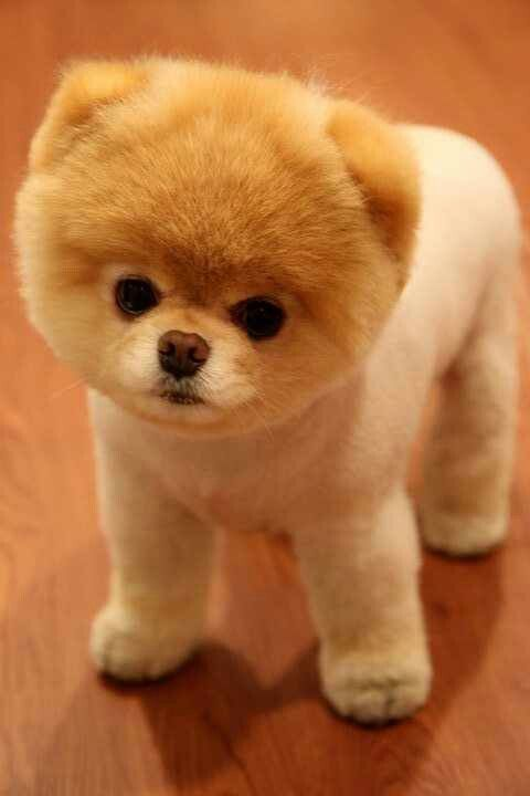 Pomeranian: I love this hair cut!
