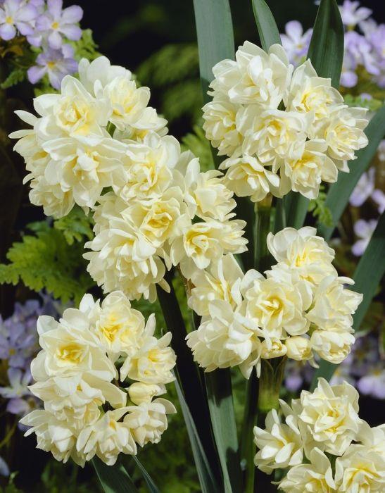 Narcissus Erlicheer Divine Smell Com Imagens