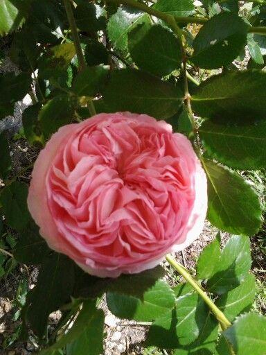 Rose Pierre de Ronsard chez Eugénie
