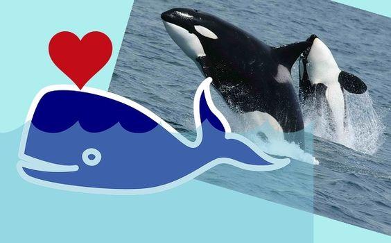 """[고래의 어원과 종류별 특징 간단히...] 포유류이기 때문에 수면에 올라오지 못하면 익사하는 고래... 공룡보다도 크며 역사상 최대의 덩치를 가진 신기한 동물입니다. - 고래의 어원은 """"골""""에서 왔다는 설이 지배적이다. - 깊게 파인 고래 등의 숨구멍을 """"골""""짜기로 본 것이다. - 고래는 이빨고래와 수염고래로 나뉜다. - 범고래는 바다 최강의 포식자이며 머리도 좋다. - 북극의 흰수염고래는 수명이 200년이 예상되기도 한다. - 향유고래는 윤활류와 비누 원료로 사용된 적이 있다. - 교미시간이 30초 밖에 안되는 종류가 많다. http://kiss7.tistory.com/635 (상세 설명)"""