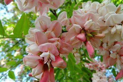 Flower Homes: Acacia Flowers