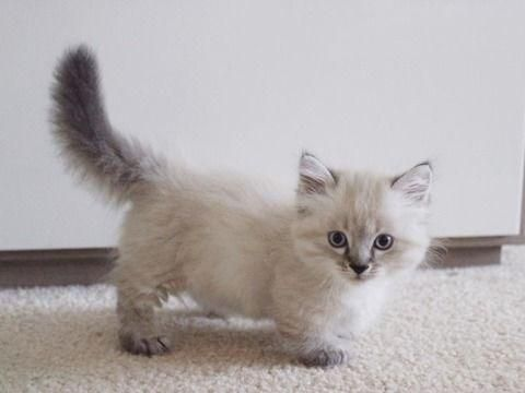 20 Munchkin Cats That Are The Sweetest Little Potatoes To Ever