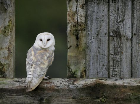 Barn Owl, in Old Farm Building Window, Scotland, UK Cairngorms National Park Reproduction photographique