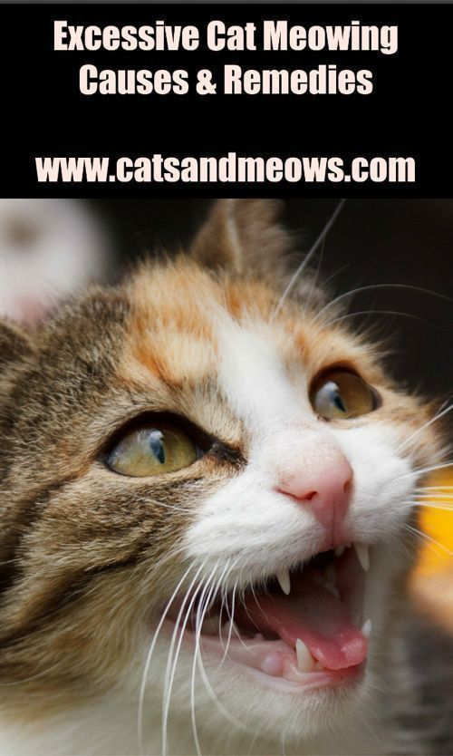 Causes And Remedies Of Excessive Cat Meowing Cat Care Cat Training Cat In Heat