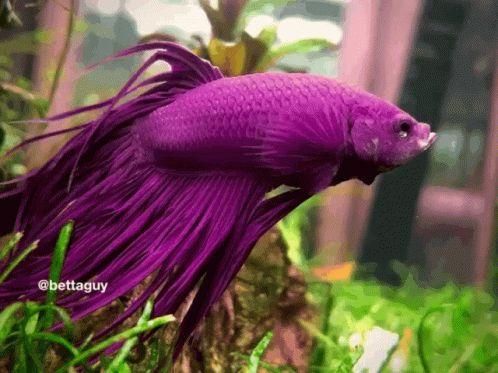 Betta Fish Gif Betta Fish Yawn Discover Share Gifs Betta Fish Fish Gif Fish Wallpaper Betta fish wallpaper gif betta fish my