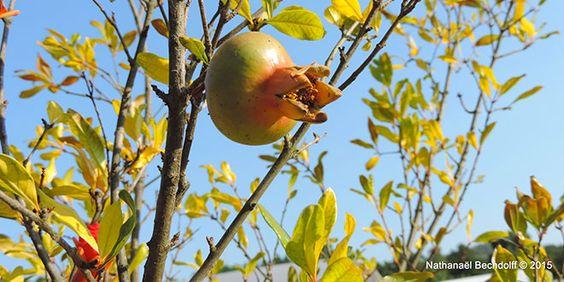 Une grenade fruit du grenadier premier arbre planté dans le jardin. La grenade est un des fruits de la terre promise (Nombres 13 v 23, Deutéronome 8 v 8)