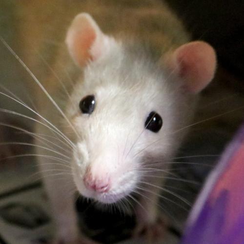 Hi I M Buffy I M A 1 Year Old Female Tan Champagne Rat Animals Cute Animals Pet Rats