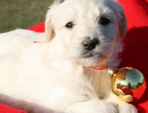 White Female Aussiedoodle Puppy from Spirit Dog Kennels in Charlotte, NC.