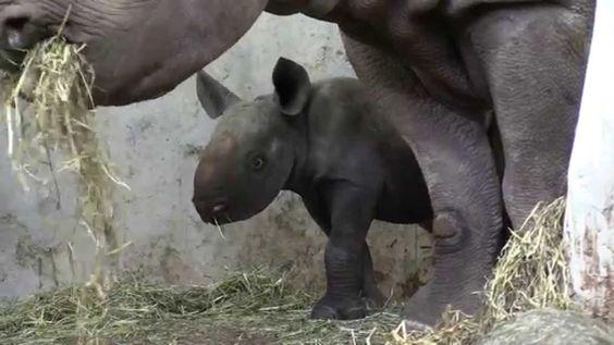 Junges Nashorn Olmoti / Baby Black Rhino Olmoti