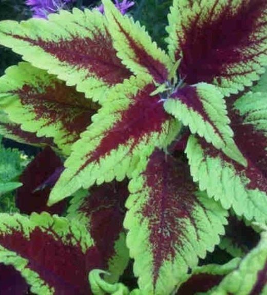 Gambar Bunga Hias Daun Kamu Bisa Mengkombinasikan Tanaman Ini Dengan Tanaman Hias Daun Ditambah Beberapa Bunga Coleus Choc Di 2020 Bunga Gambar Tanaman Hias Daun