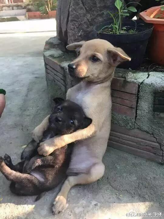The larger of the two pups would constantly hug the smaller dog as they sat…