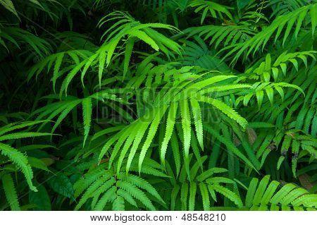 Samambaias folhas fundo tropical de folhagem verde. Flora natural da floresta tropical jungle plantas
