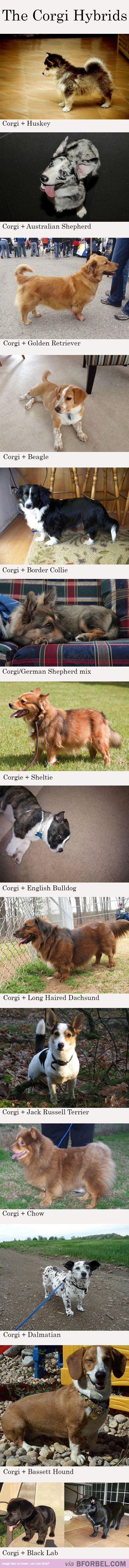 14 Of The Most Adorable Corgi Hybrids…I have a Corgador!!!!! She looks just like the one in the last picture