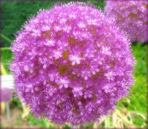 Allium clothed in Purple