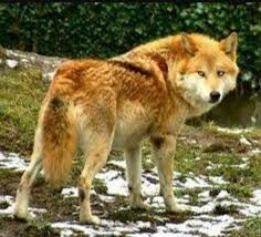 Image result for golden brown wolf