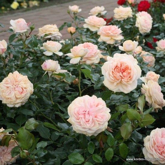 gardens cream and roses on pinterest. Black Bedroom Furniture Sets. Home Design Ideas
